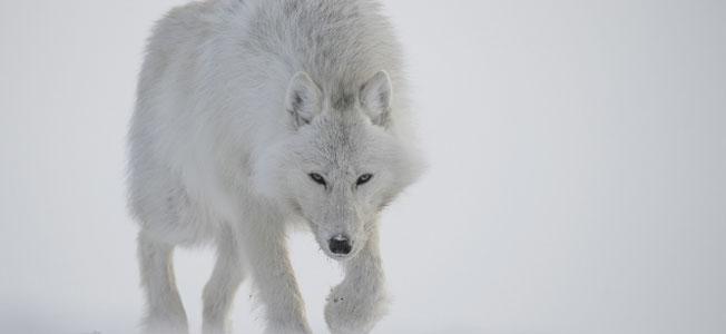loup-blanc-couverture
